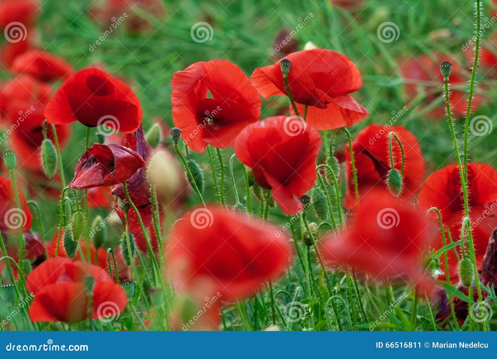¡Amapolas rojas en el condado de Tunari, cerca de Bucarest, Rumania!