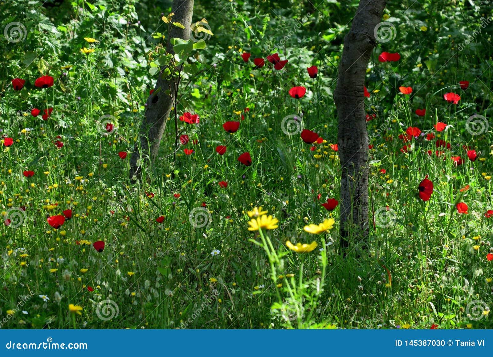 Amapolas rojas hermosas en la alta hierba en el primer del bosque