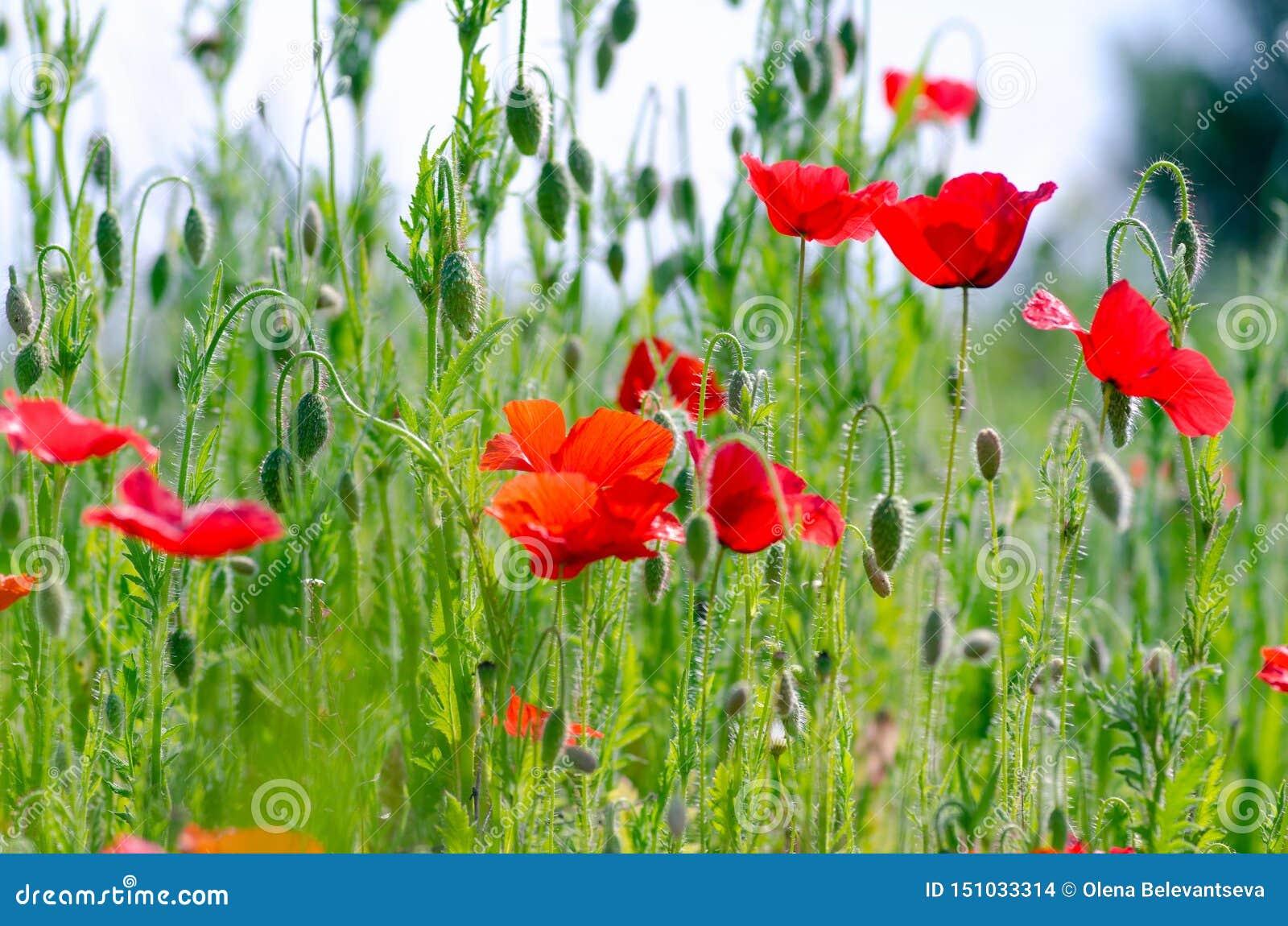 Amapolas rojas hermosas en un prado del verano, brotes de amapolas, un símbolo de la victoria