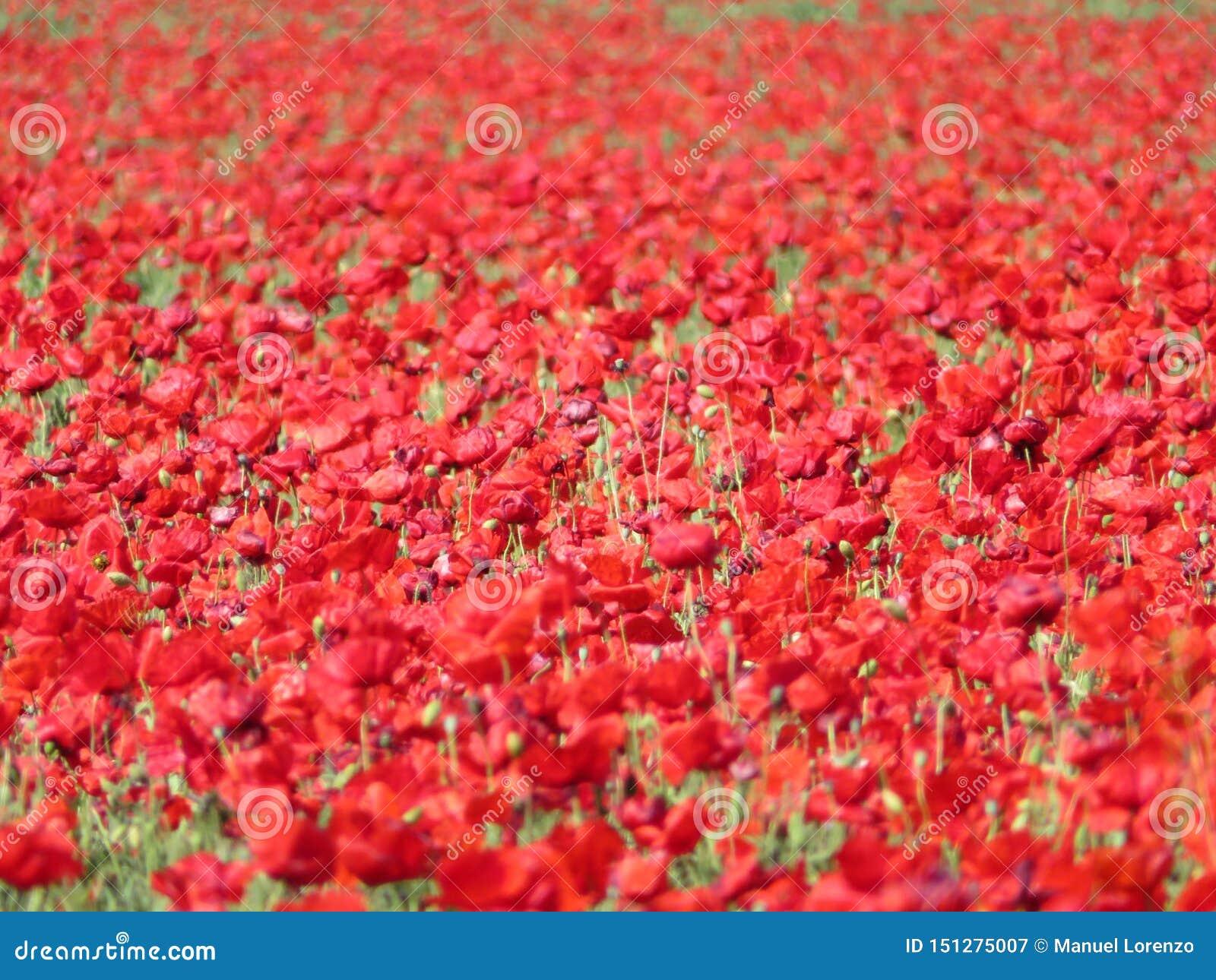 Amapolas rojas hermosas llenas de flores mezcladas con el cereal