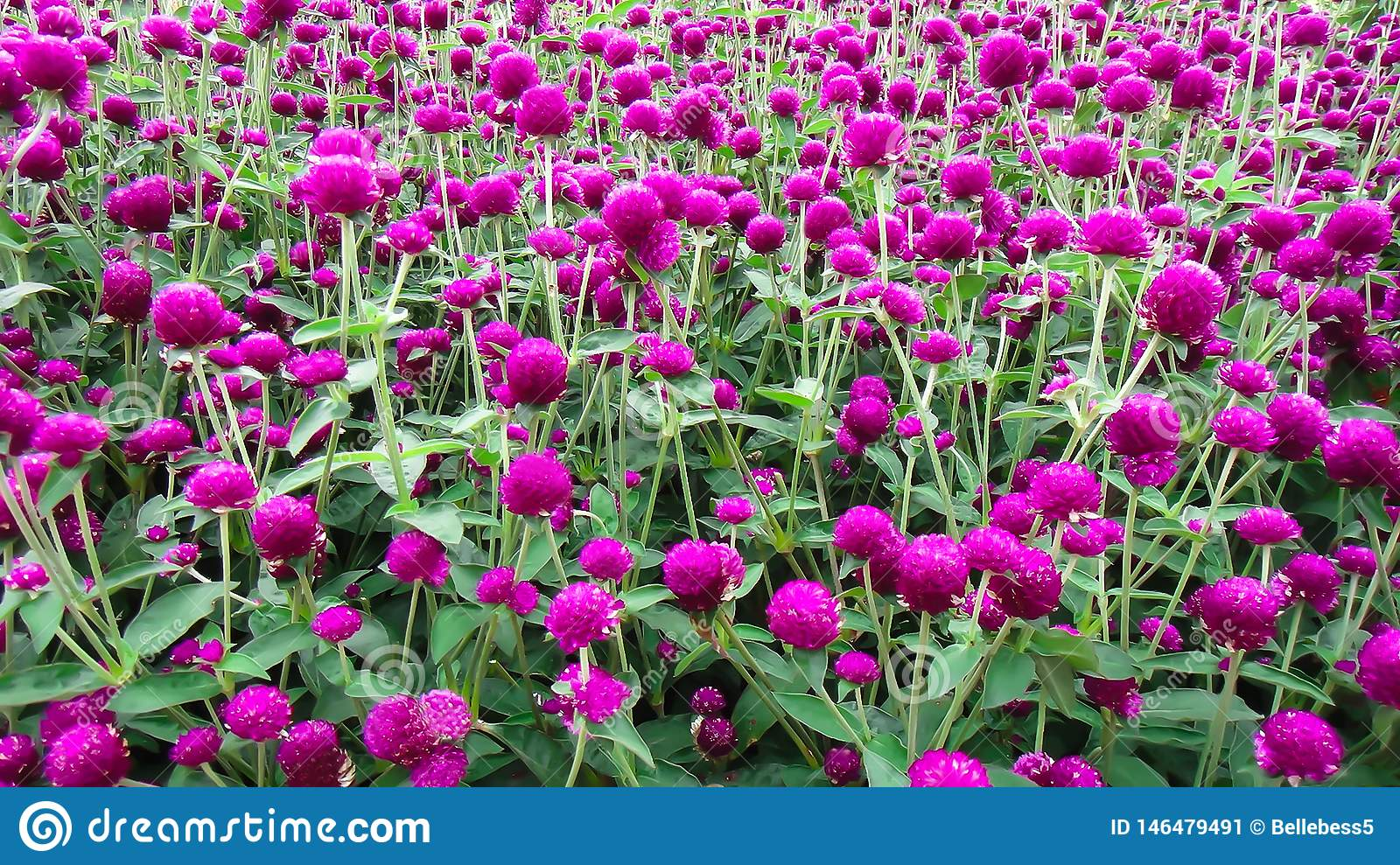 Amaranth Is A Cosmopolitan Genus Of Annual Or Short Lived