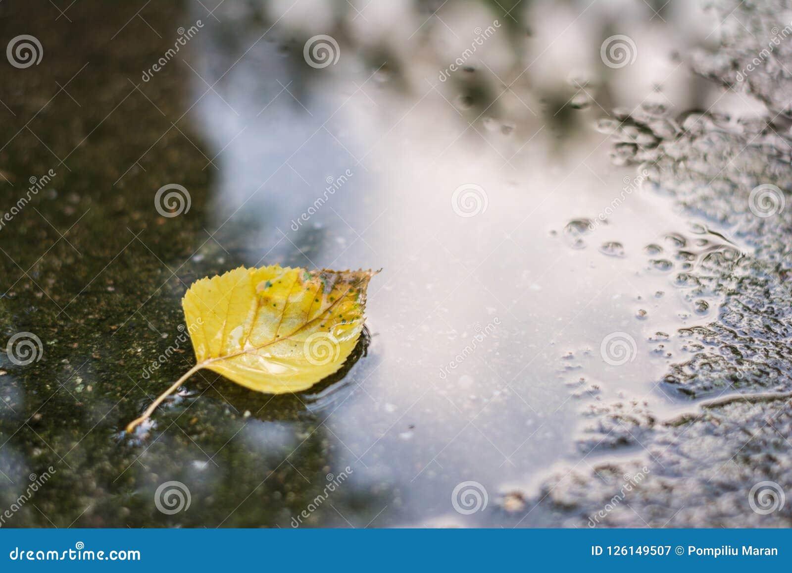 Amarele a folha caída da árvore de vidoeiro, bétula