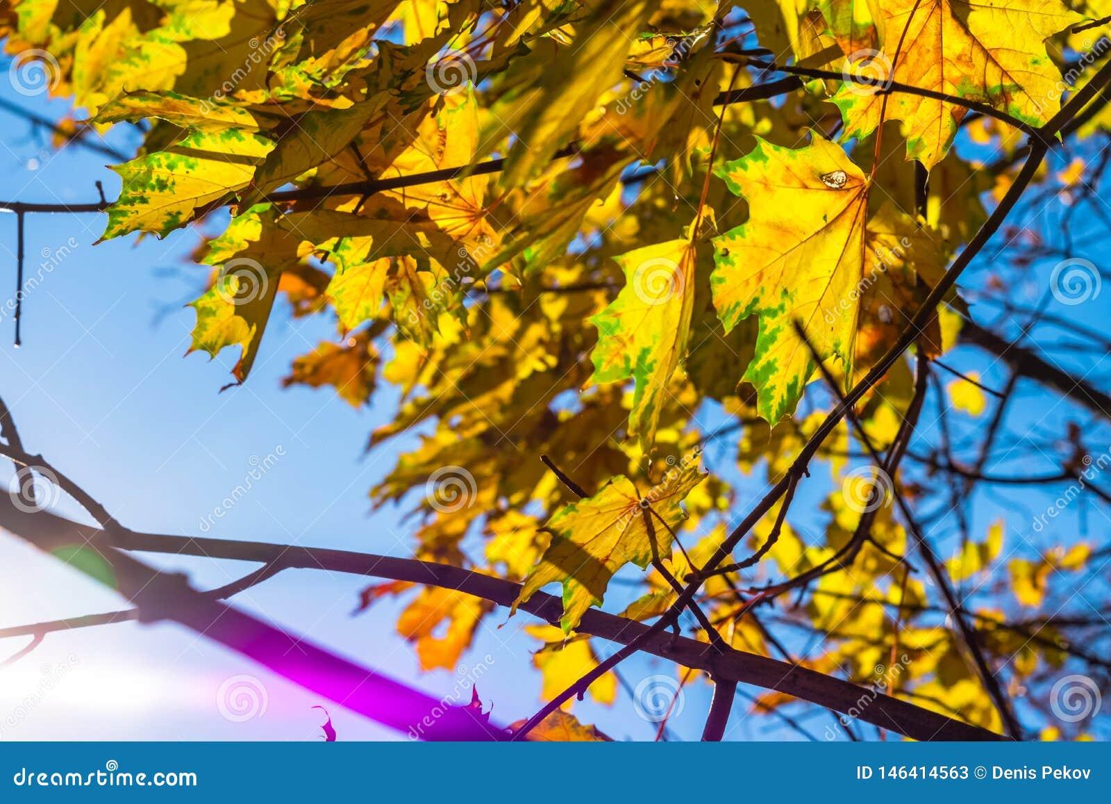 Amarelo das folhas de outono