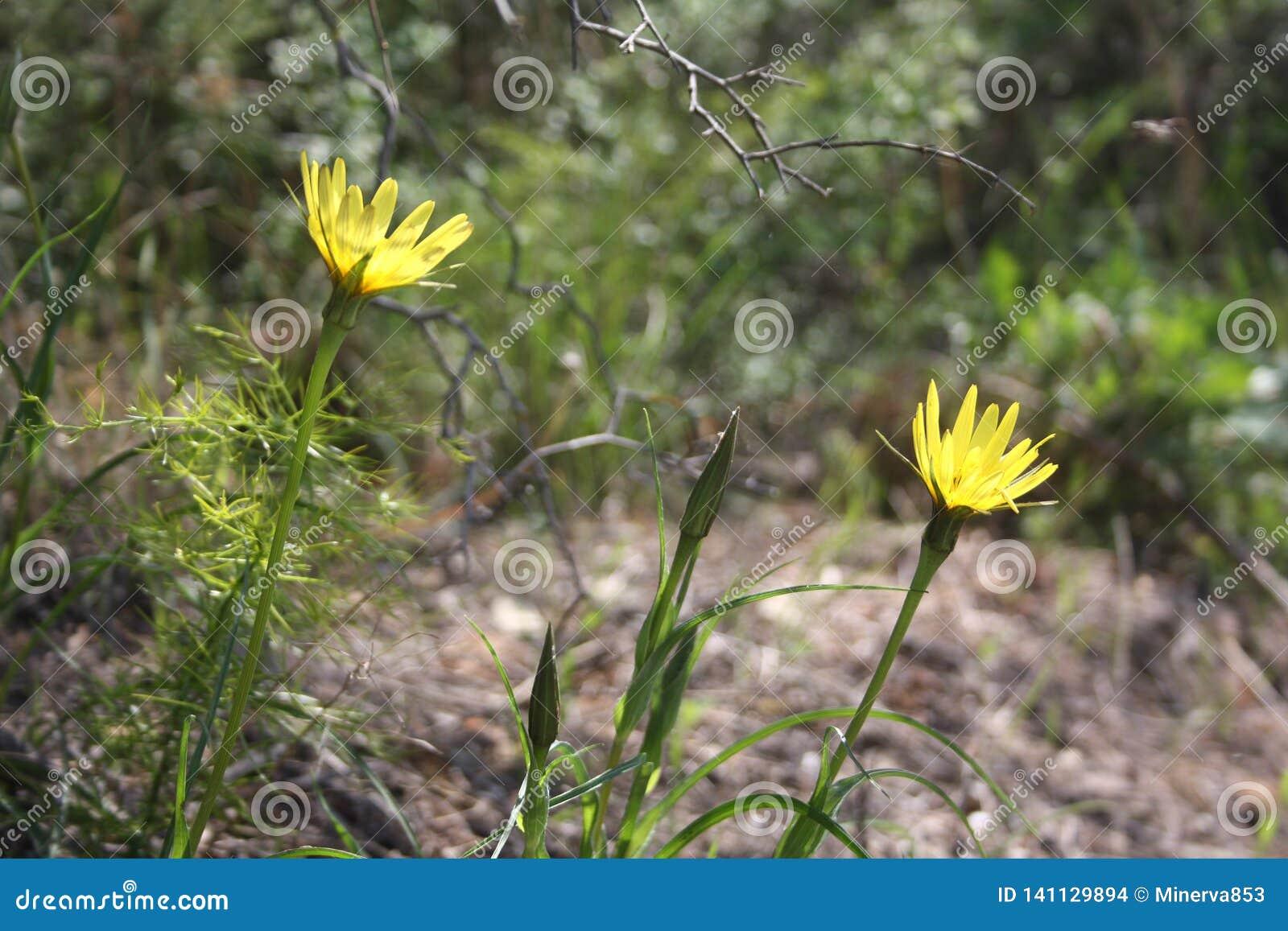 Amarelo do Hawkweed dente-de-leão-como flores Ao princípio de abril flores da floresta