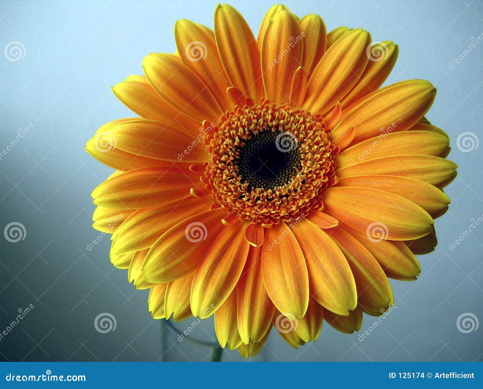 Amarelo - flor alaranjada do Gerbera em um fundo azul