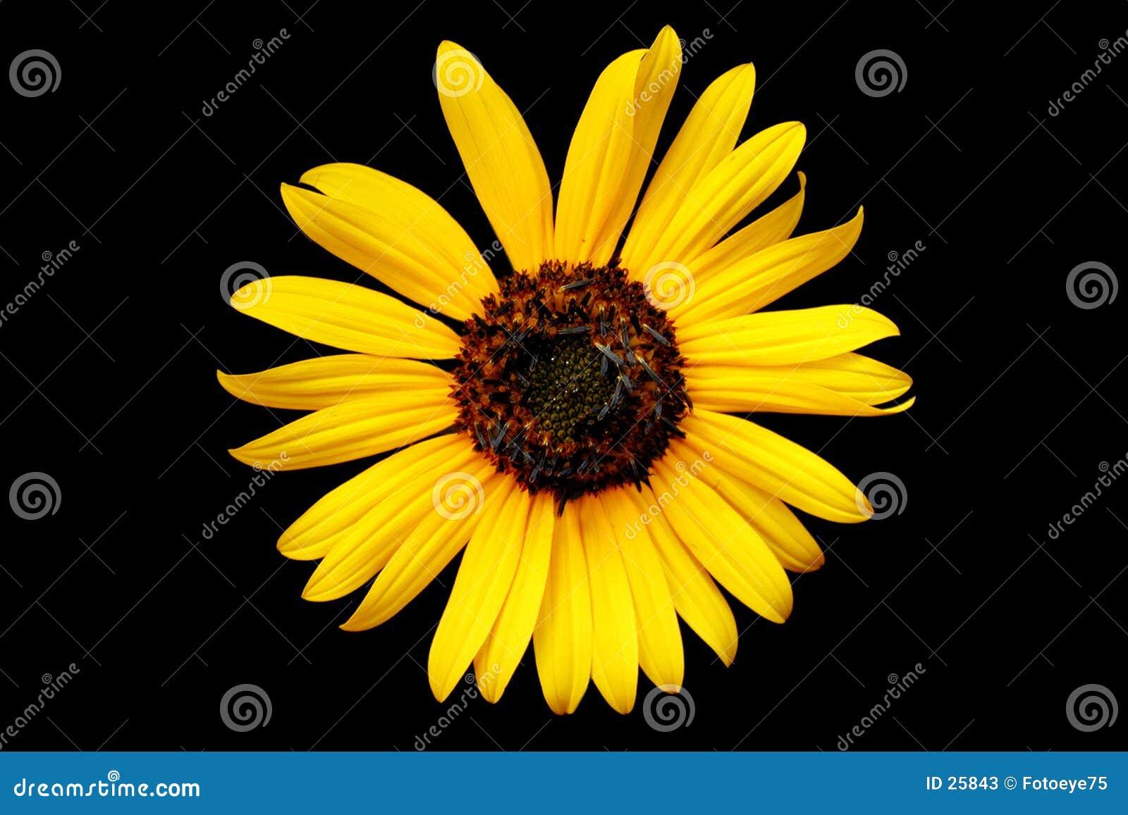 Download Amarillee el wildflower imagen de archivo. Imagen de wildflower - 25843