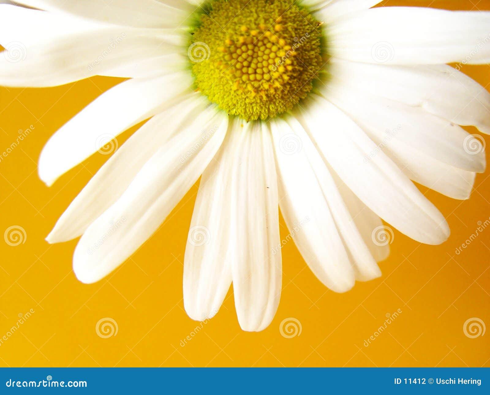Amarillo de la margarita del verano