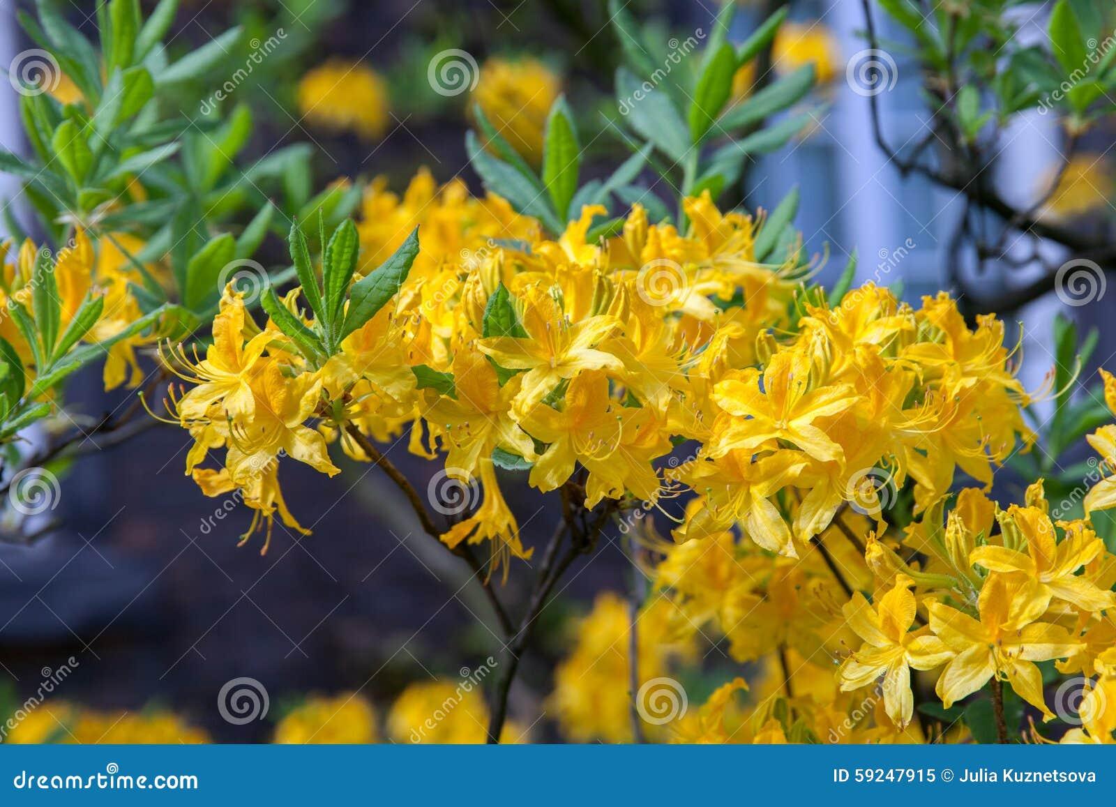 Amarillo florecido del rododendro