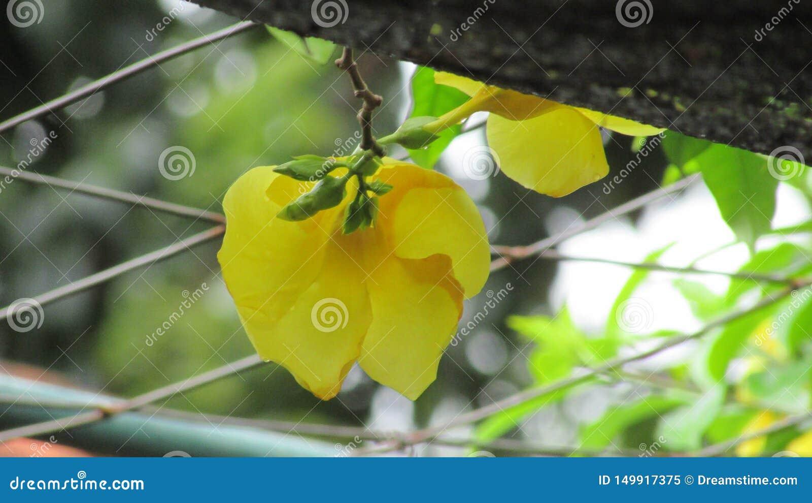 Amarillo hermoso de flores