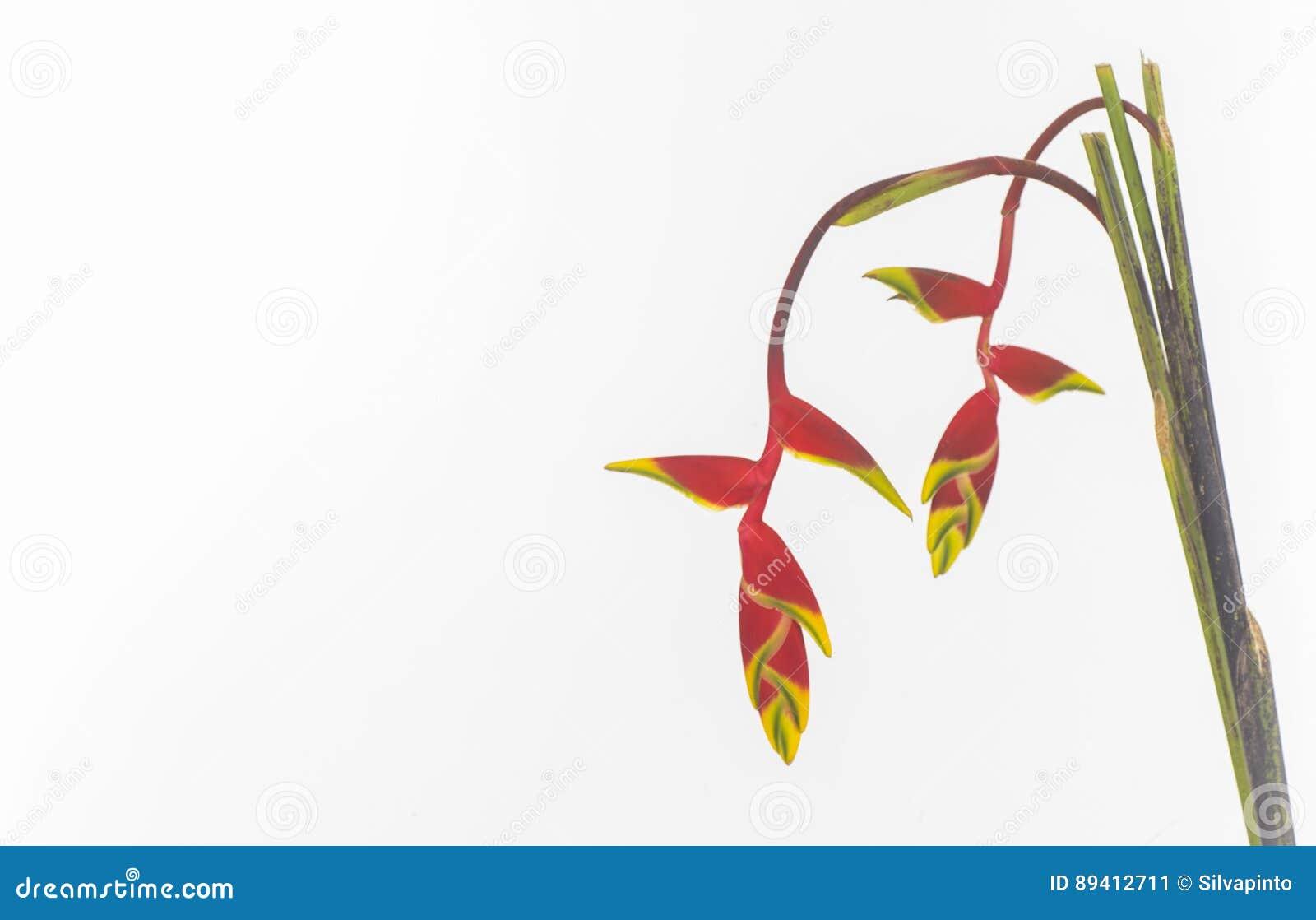 Amaryllidaceae isolado