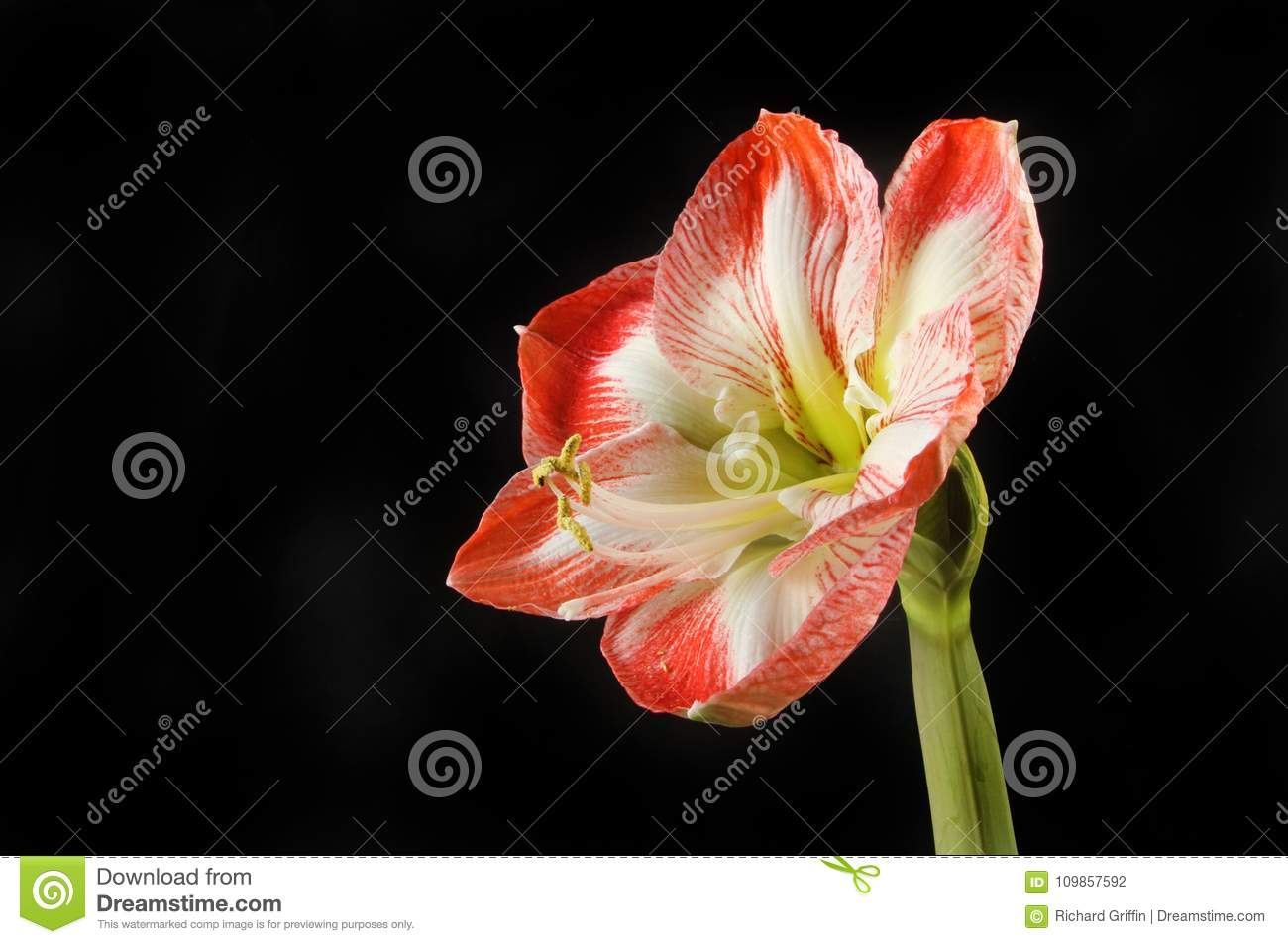 Amaryllis against black
