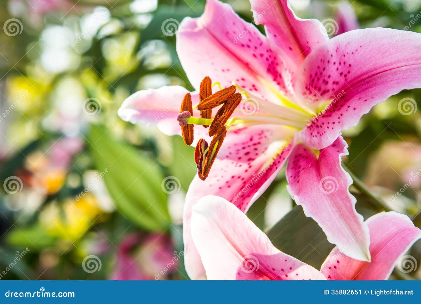 Amaryllis Flower In Chiangmai Province Thailand Stock Image Image