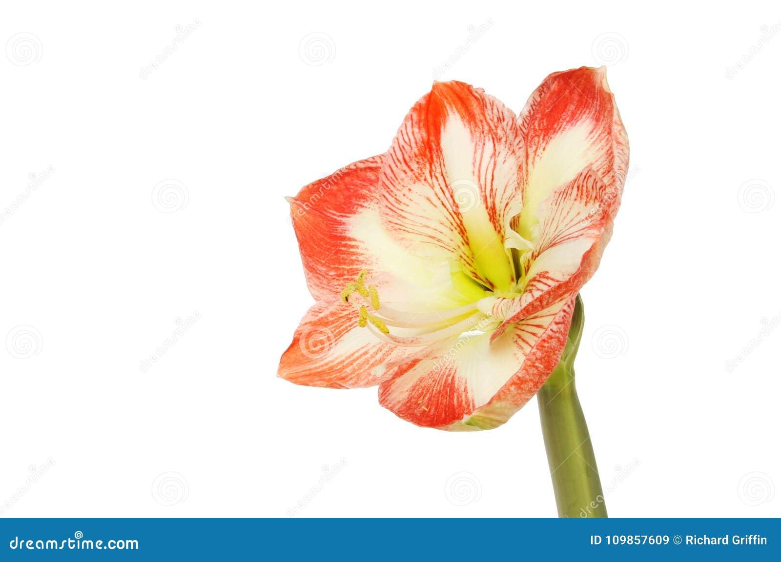 Amaryllis flower isolated
