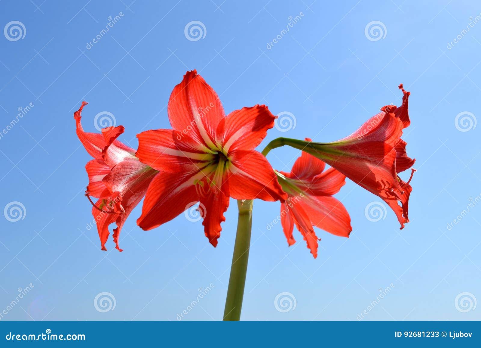 Amaryllis Hippeastrum. Beautiful Red Flowers Against Blue Sky Stock ...