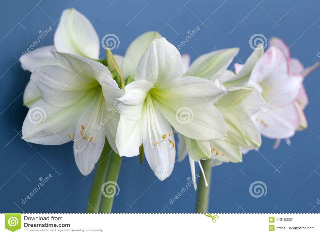 Amaryllis Hippeastrum Large Flowering Moonlight And Picasso Stock