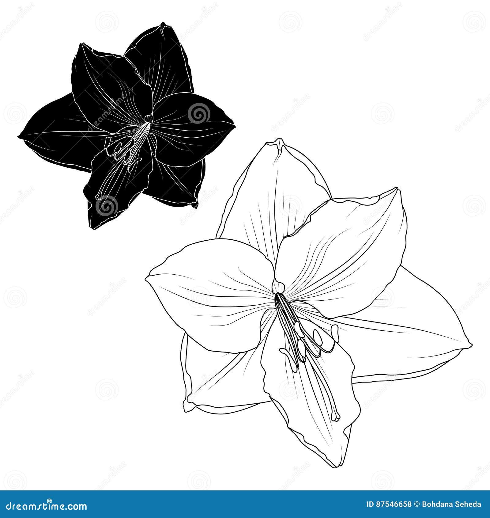 Amaryllis-hippeastrum lilly bloem geïsoleerde macro