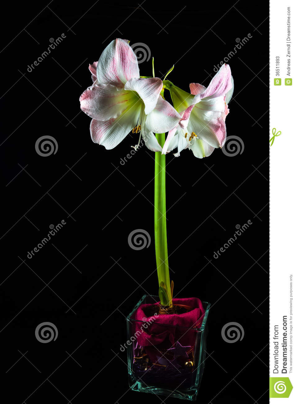 Amaryllis Hippeastrum Orchid d isolement
