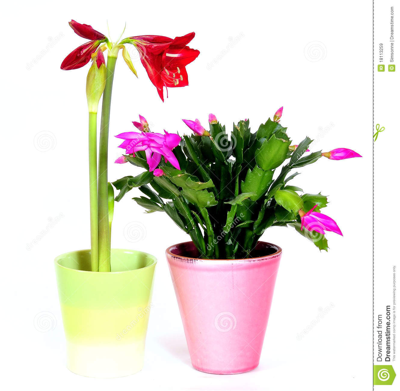 Flowering Indoor Plants Affordable Get Quotations Cyclamen