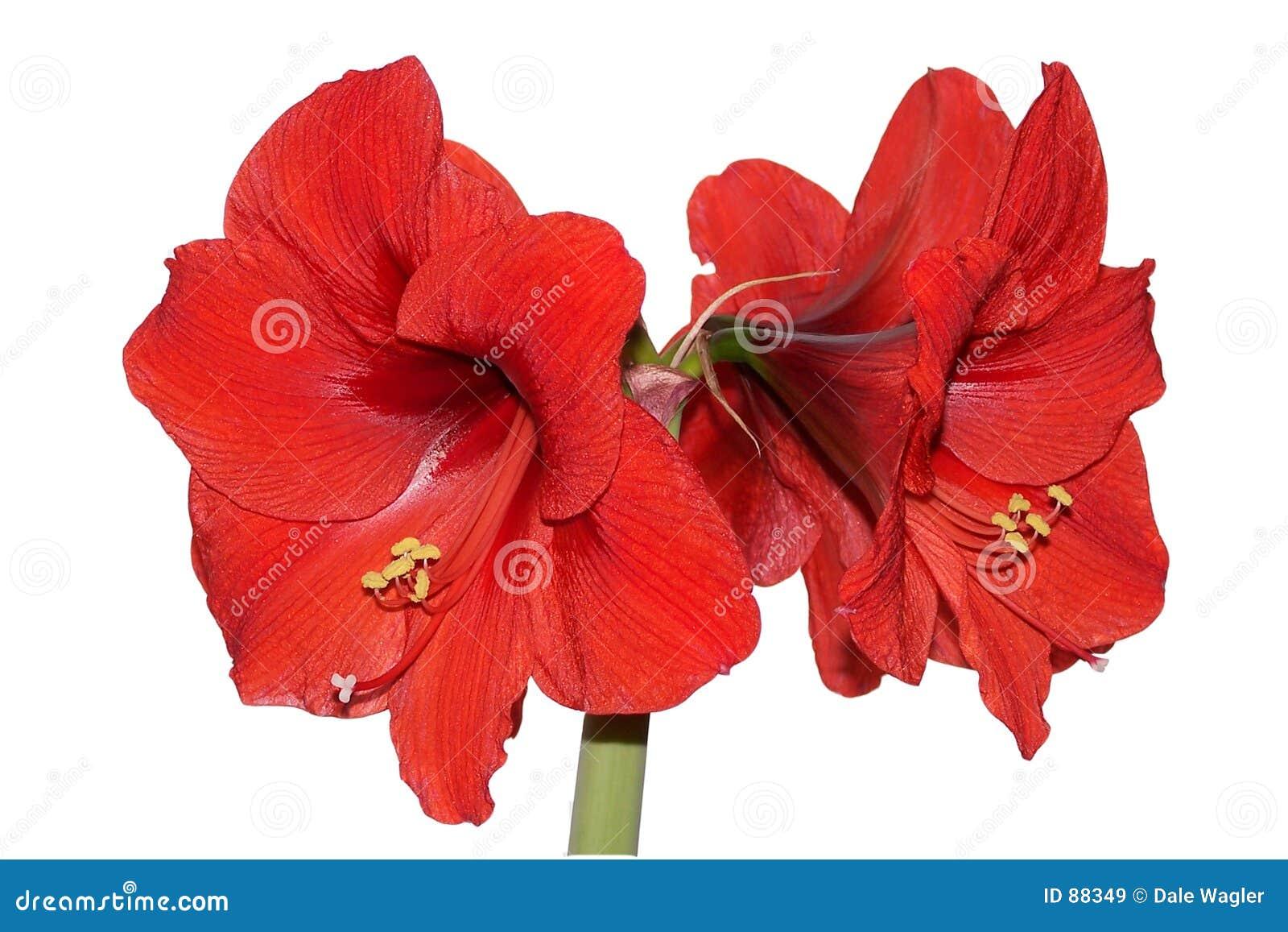 Amaryllis rouge image stock image du ampoule tamine for Amaryllis rouge signification
