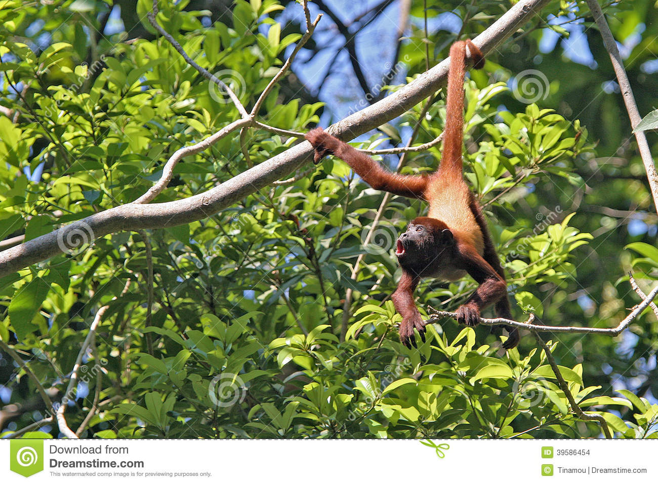 Amazed Monkey Hanging By The Tail Colombia Stock Photo