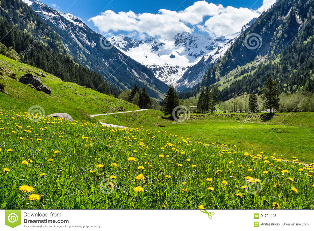 Amazing alpine spring summer landscape with green meadows flowers and snowy peak in the background. Austria, Tirol, Stillup valley