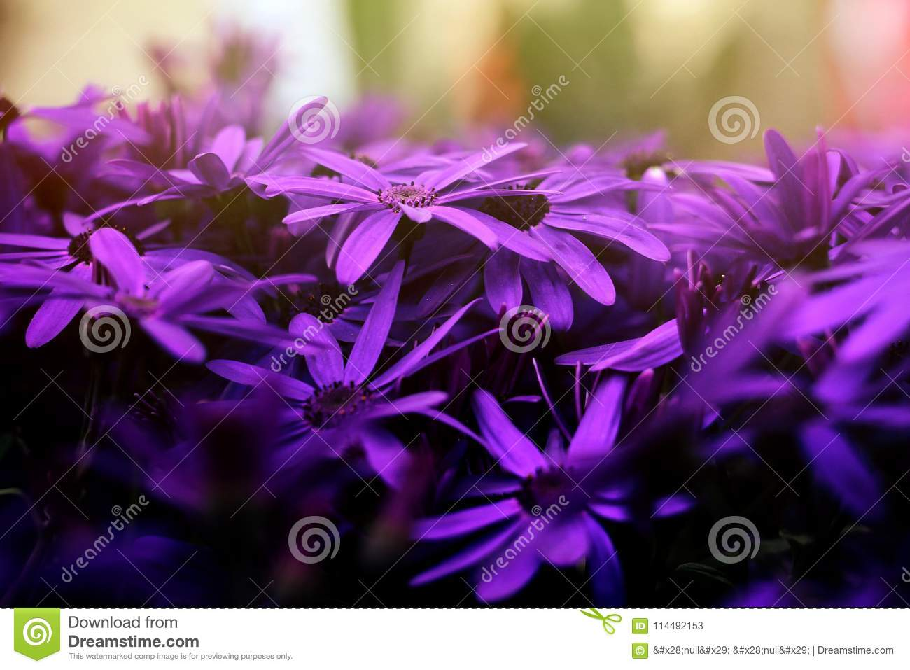 Amazing Beautiful Purple Flowers In Close Up View With Magical W