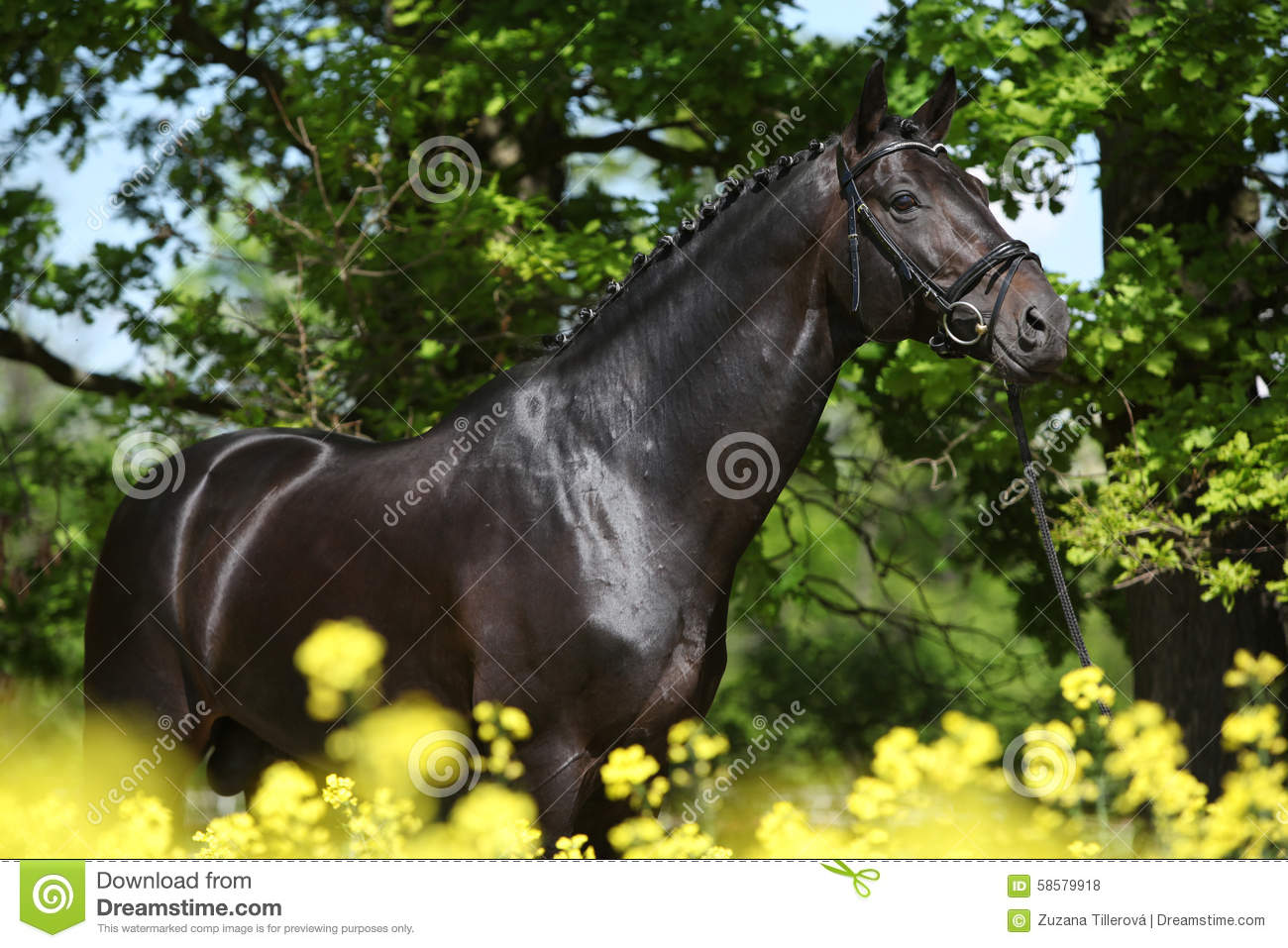 Amazing black dutch warmblood with yellow flowers