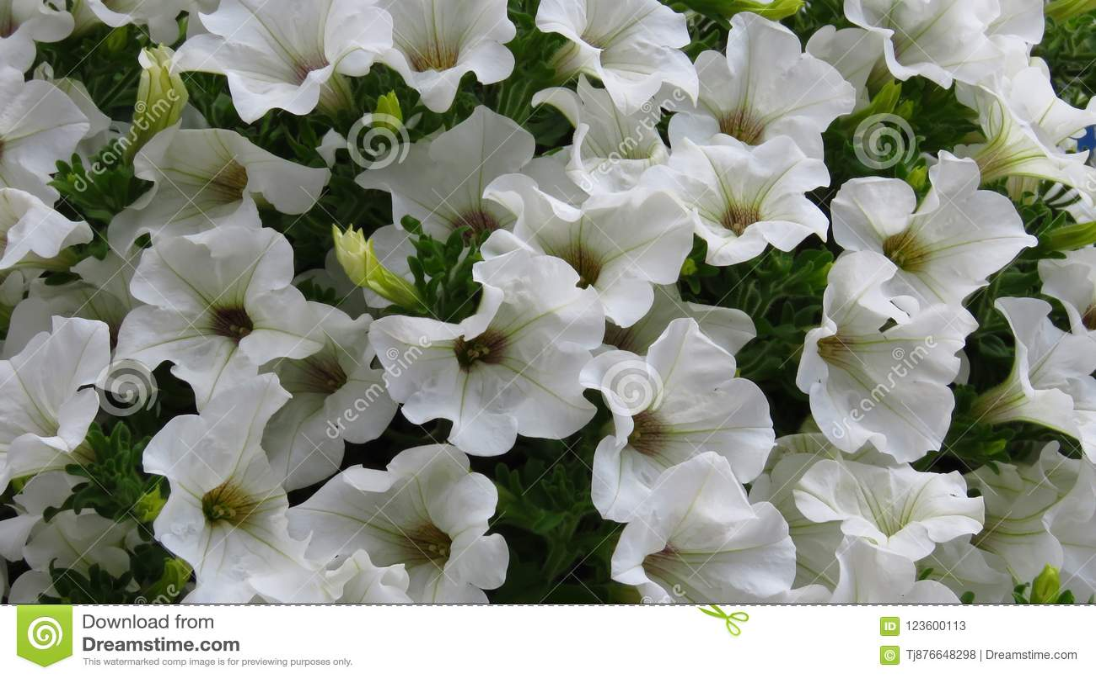 Amazing White Petunia Flower Background Stock Image Image Of
