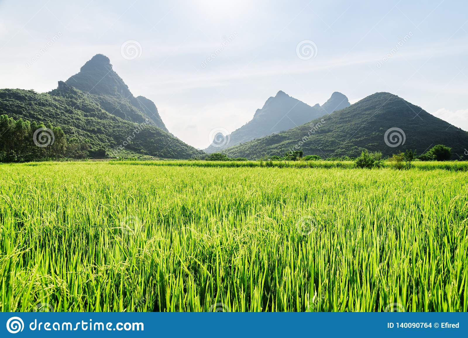 Amazing bright green rice field and scenic karst mountains