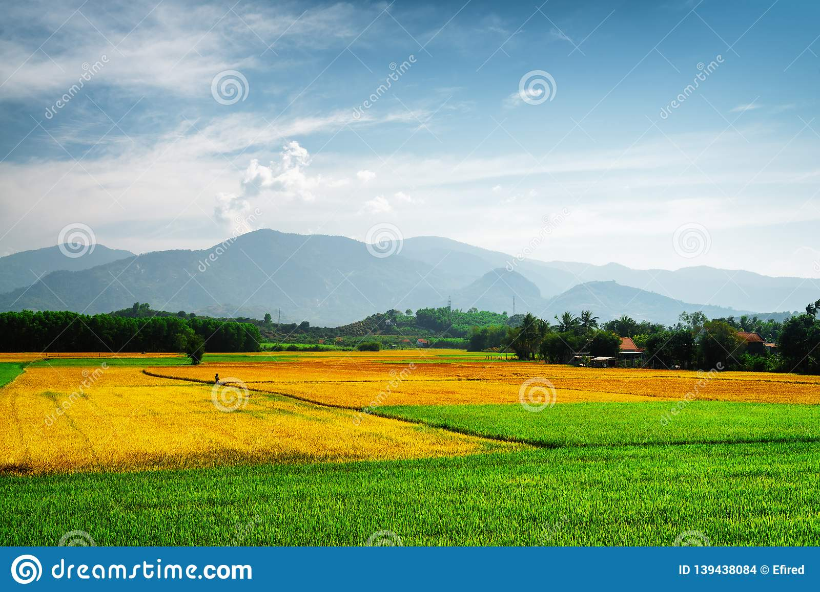 Scenic colorful rice fields at different stages of maturity