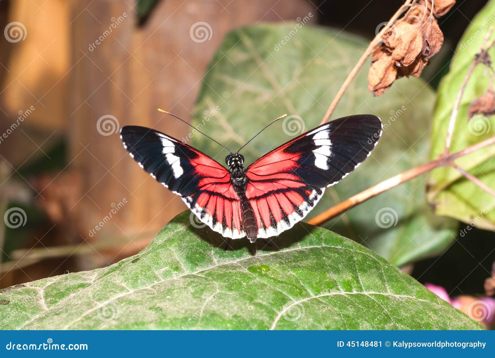 Red Cattle Heart Swallowtail Butterfly