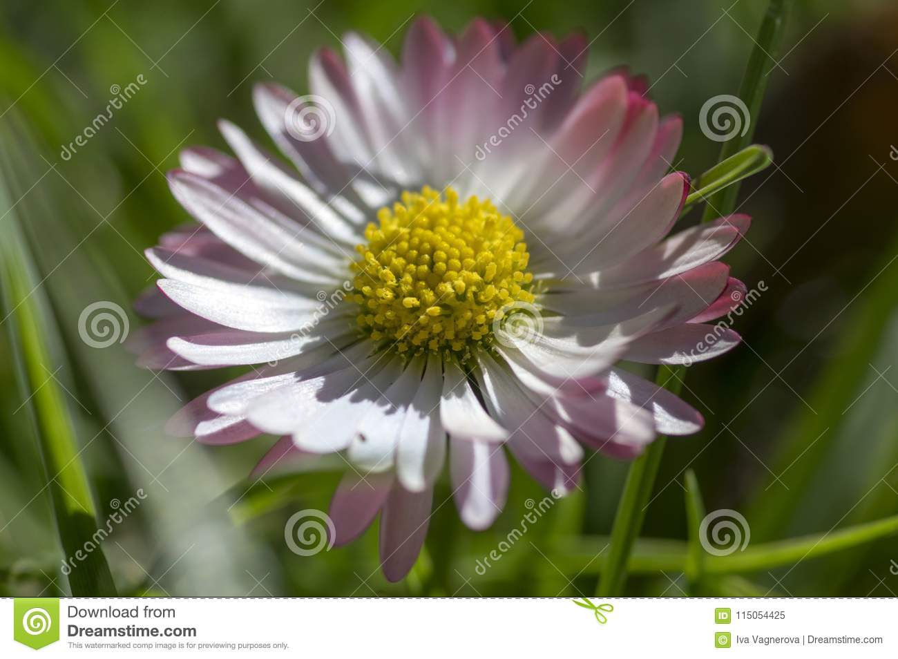 Amazing Daisies Bellis Perennis Flower Heads In The Grass