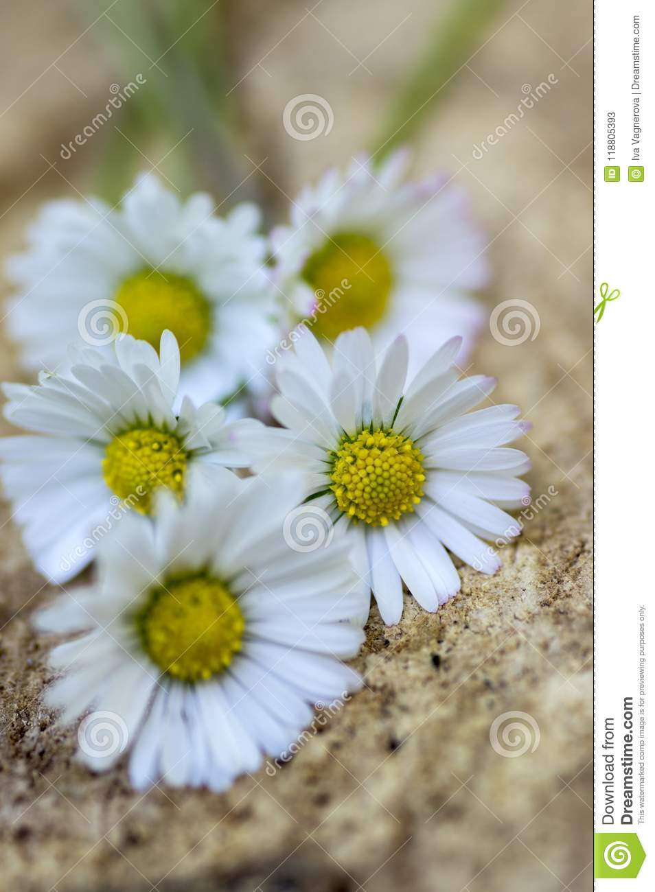 Amazing Daisies Bellis Perennis Flower Heads On Wooden Table