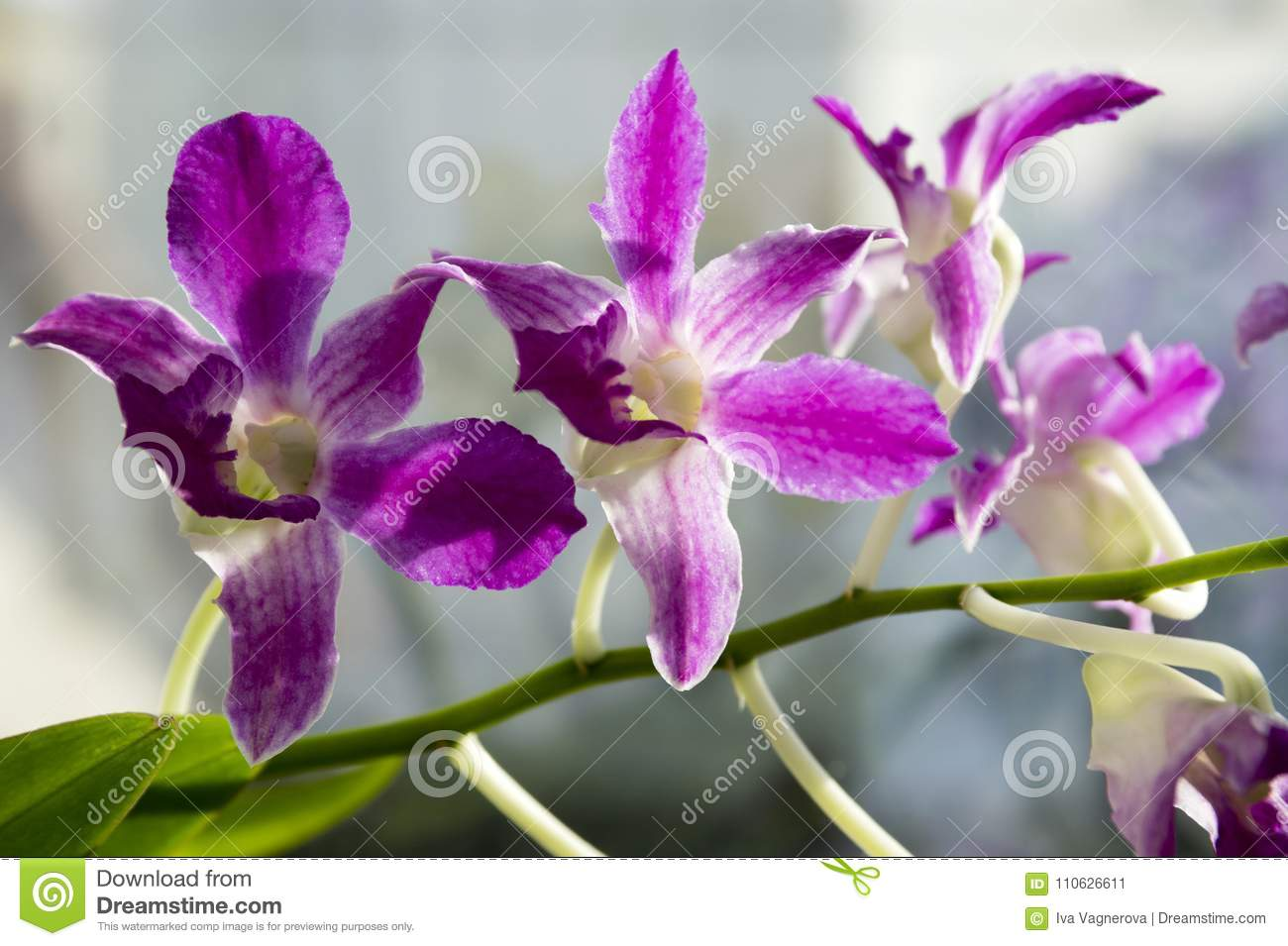 Dendrobium orchid - a plant only for professional florists 60