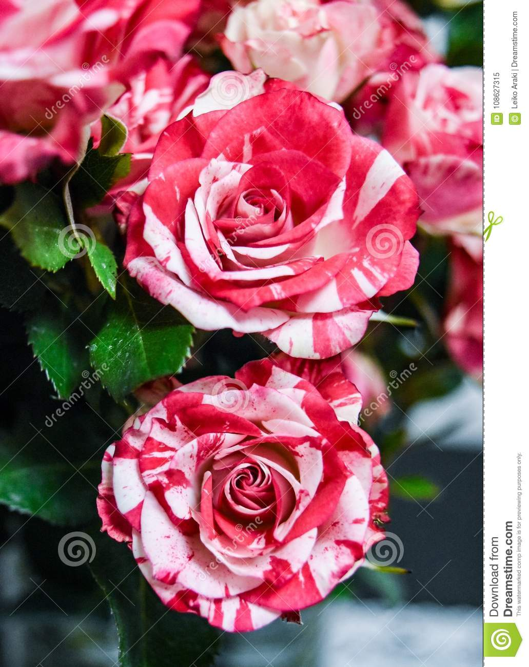 Amazing 2 Flowers Rose Small Red Anda White Stock Image Image Of