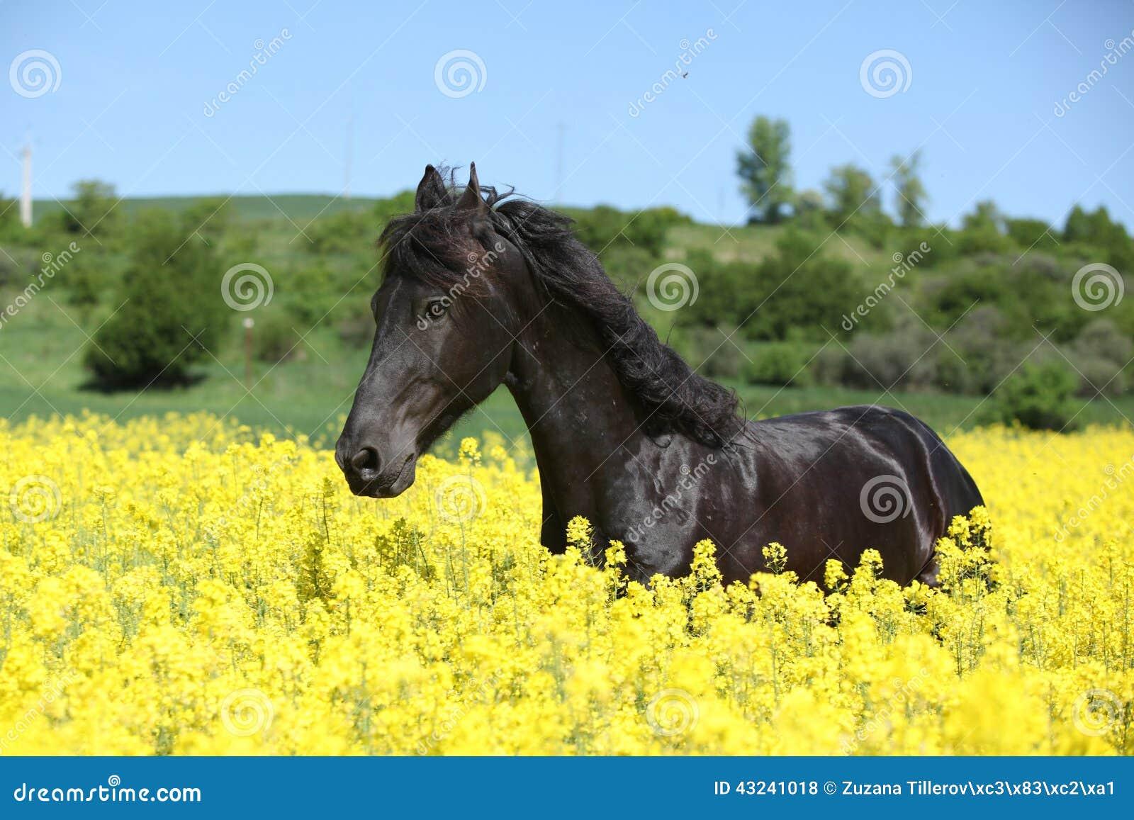 Beautiful Black Friesian Horses Running On Pasturage Stock ...  |Friesian Horses Running