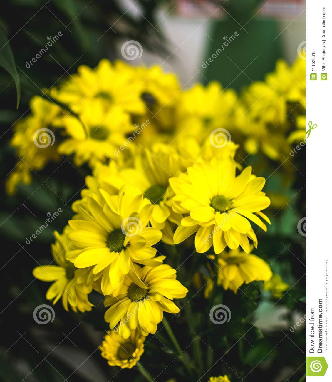 Yellow Summer Flowers Margarita Romantic Flower Stock Photo Image