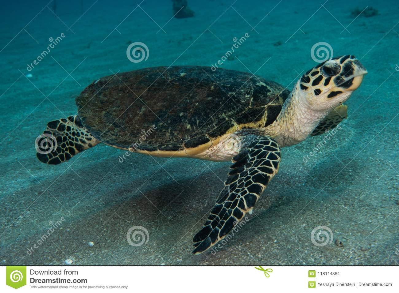 Giant Green Sea Turtles in the Red Sea a.e