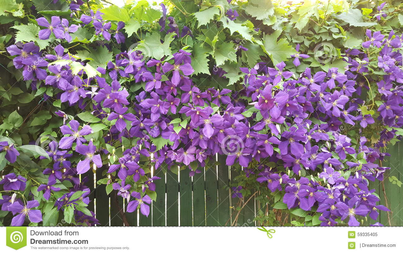 Amazing hanging plant with purple flowers on a green fence stock photo image 59335405 - Like that garten ...