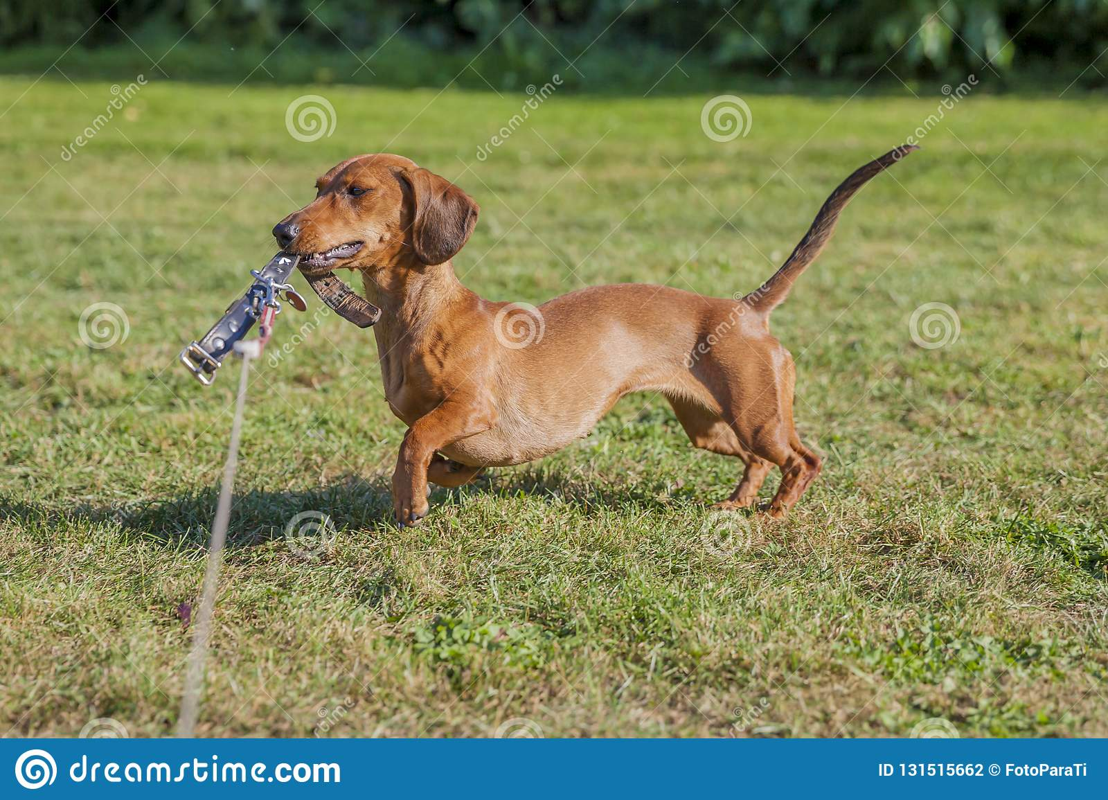 Amazing image of a sausage dog playing with his leash