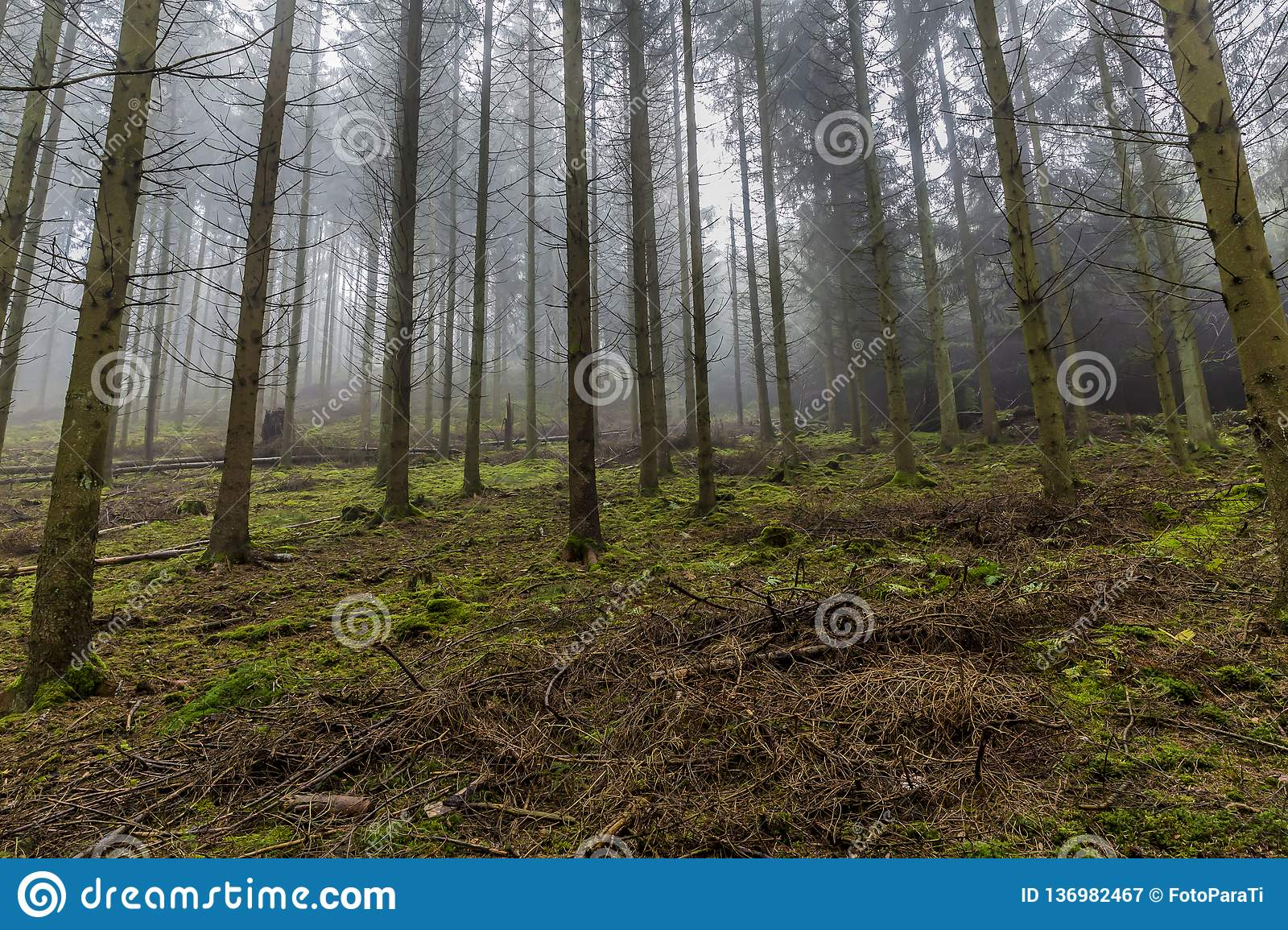 Image of tall pine trees in the forest with moss and branches on the ground