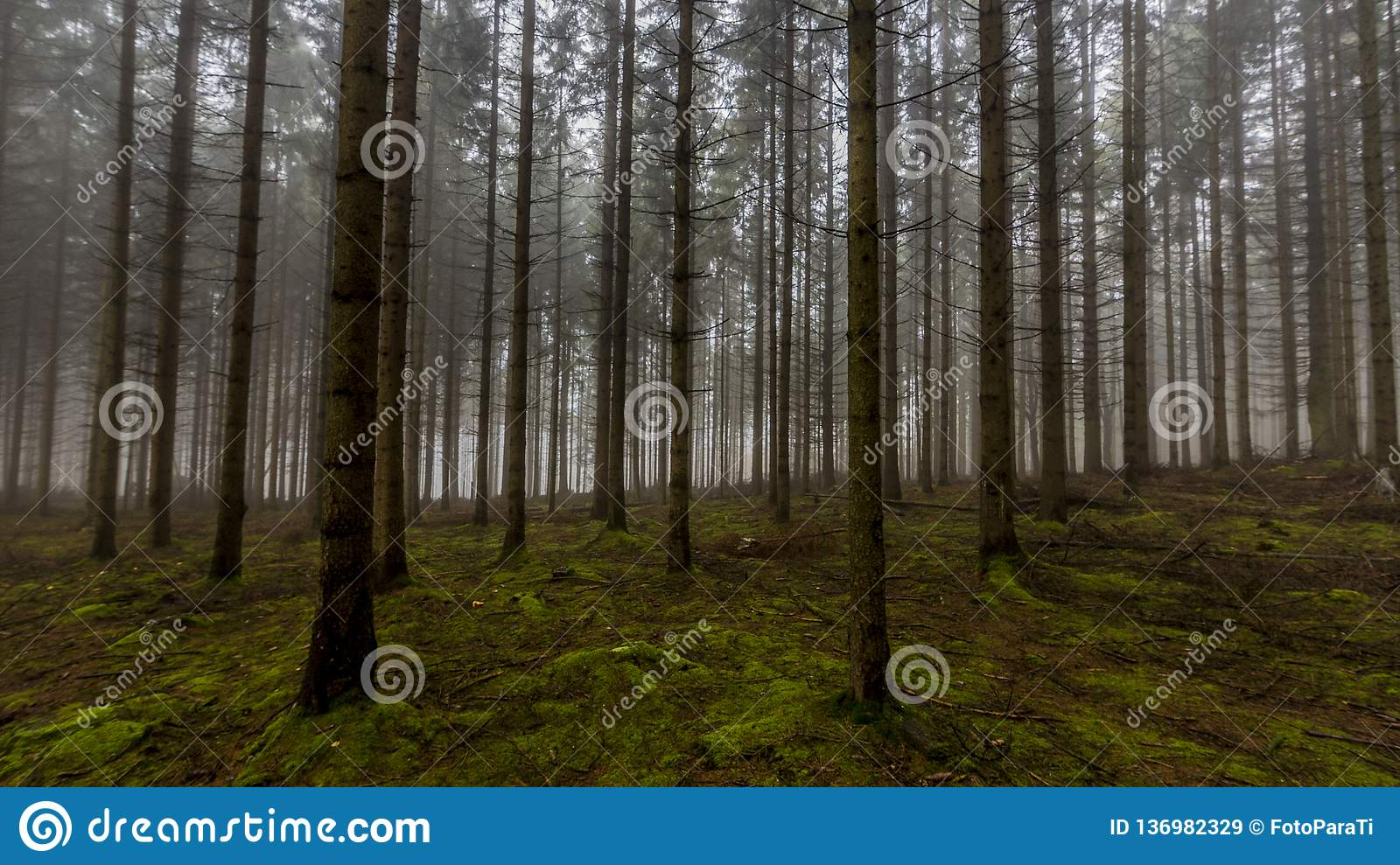 Amazing image of tall pine trees in the forest with moss on the ground in the forest