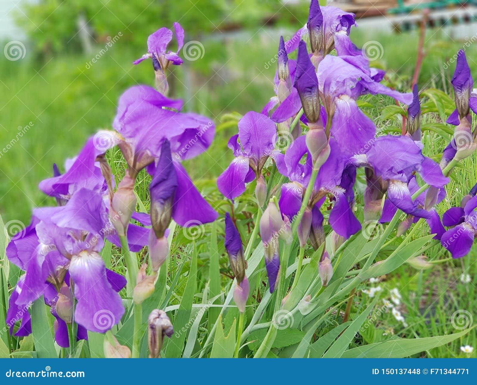 Amazing iris bloom in the garden