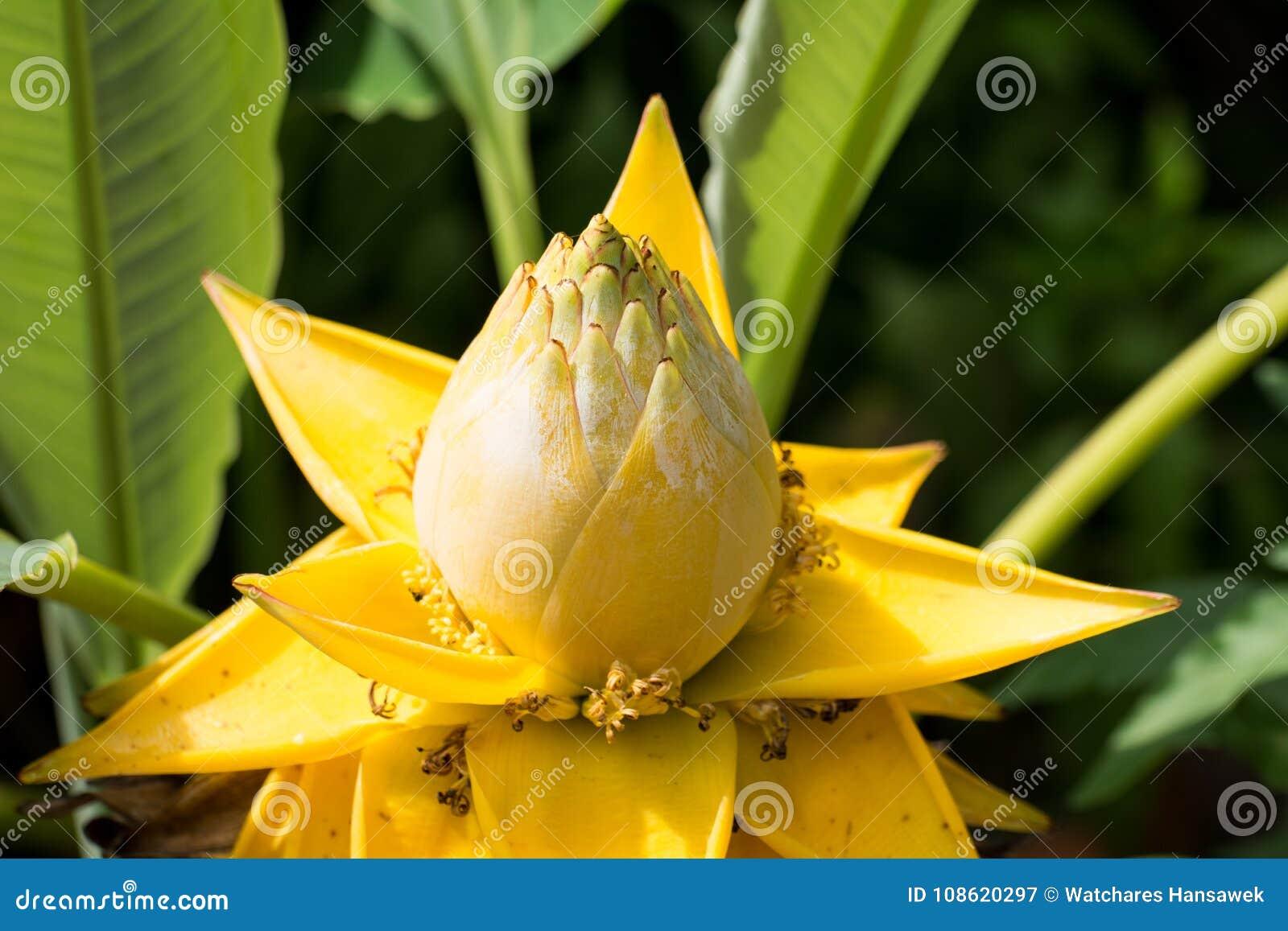 Amazing lotus flowerse big yellow lotus flowersthailand stock amazing lotus flowerse big yellow lotus flowersthailand mightylinksfo