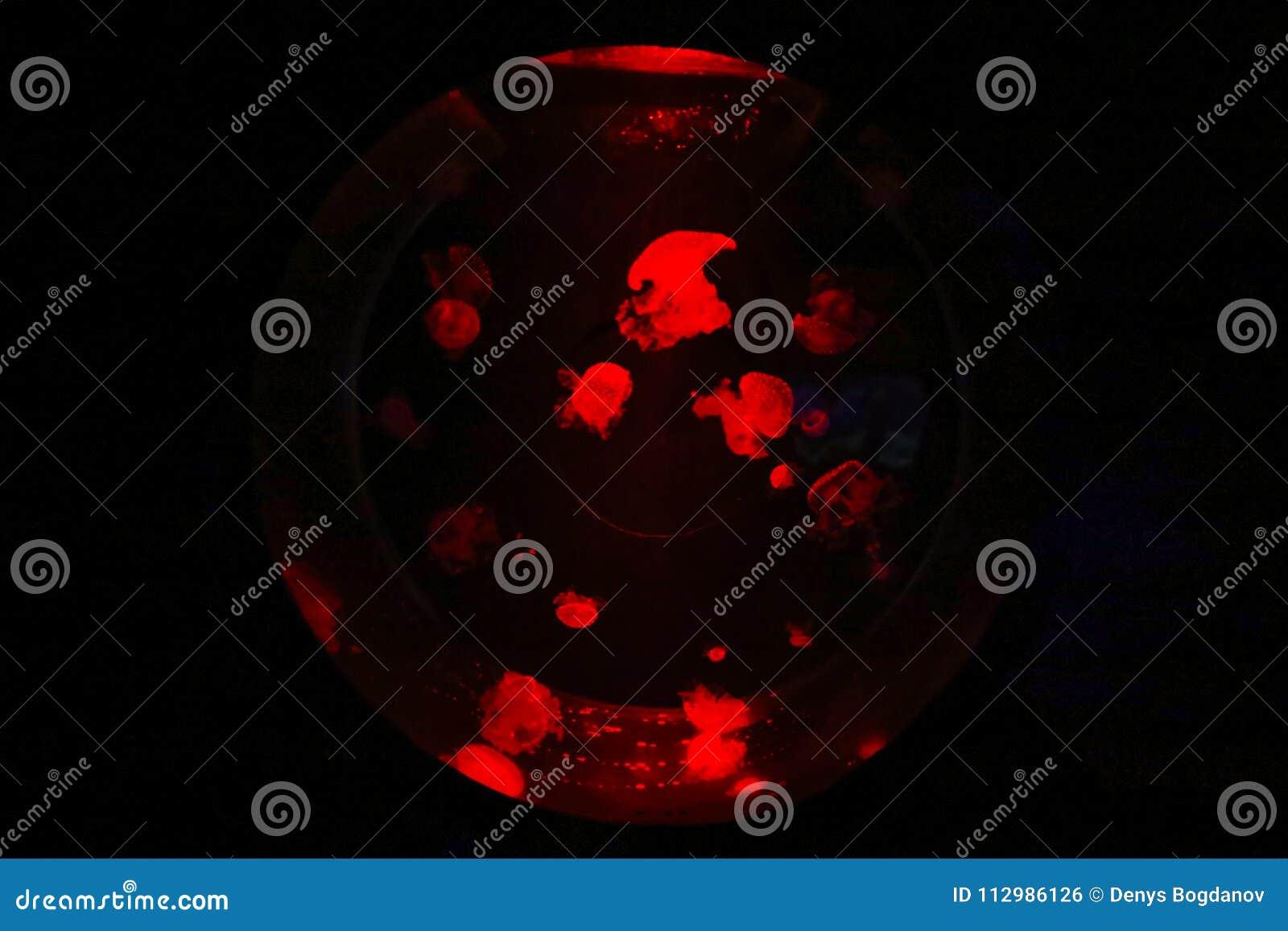 Amazing red jelly fish in a national aquarium of Malta in a round aquarium