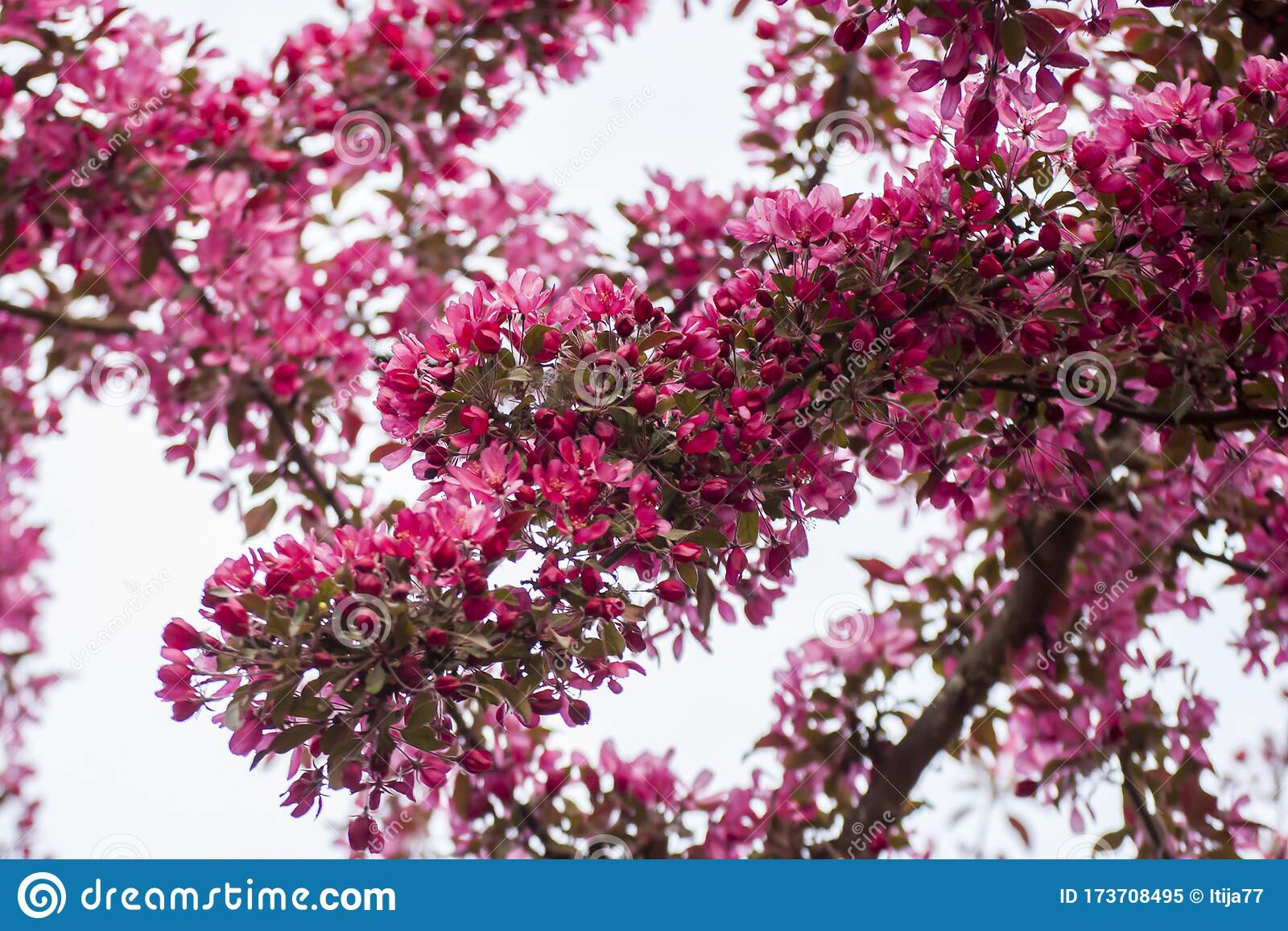 Amazing Springtime In Garden With Closeup Of Blossoms Of Siberian