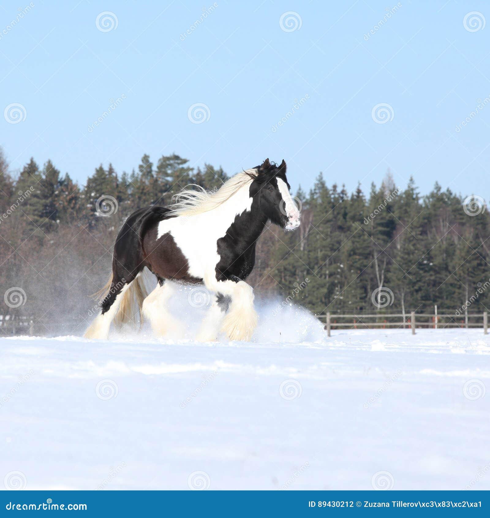 Amazing Stallion Of Irish Cob Running In Winter Stock Photo Image Of Equestrian Wintertime 89430212