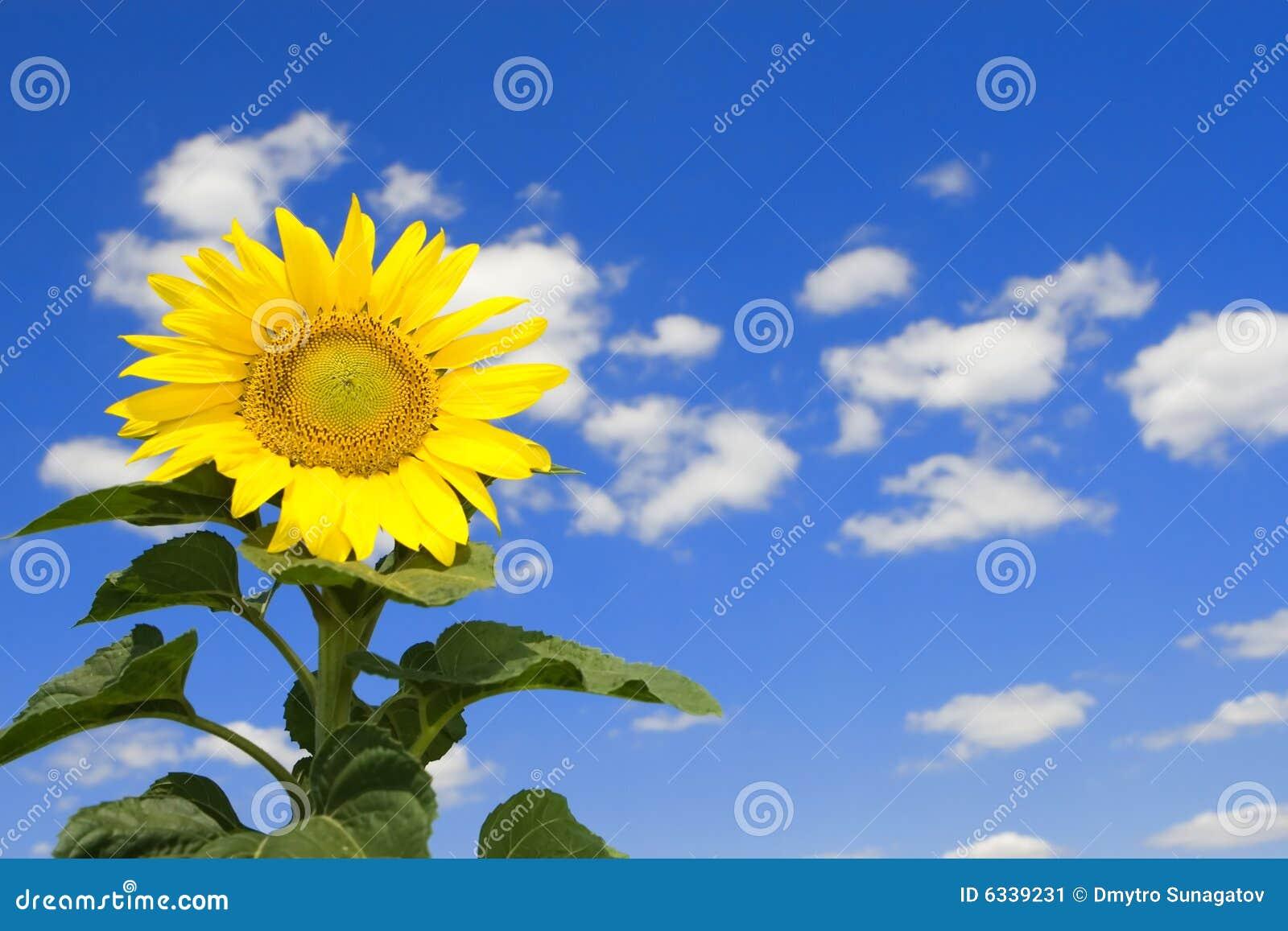 Amazing Sunflower And Blue Sky Stock Image - Image: 6339231