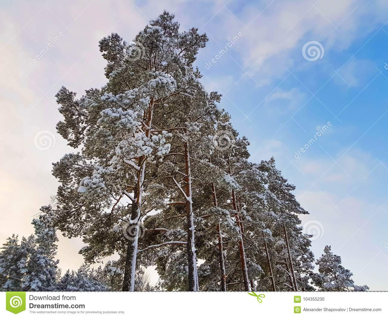 Amazing view of pine tree crown in snow on blue sky background.