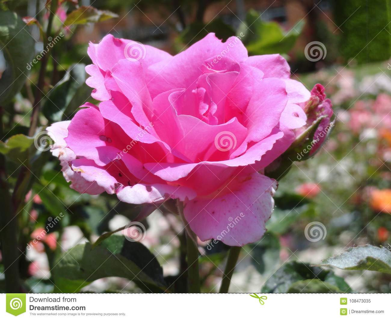The best varieties of park roses for the Moscow region 72